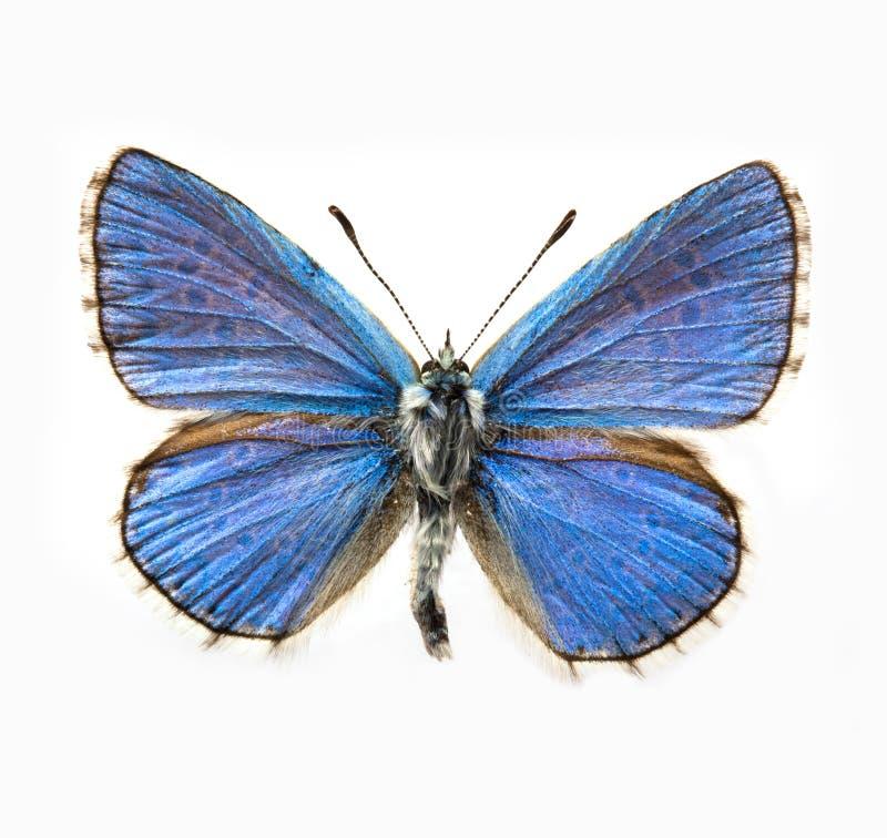 adonis błękit motyl zdjęcia stock