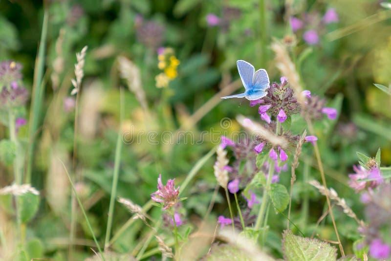 Adonis Blue Butterfly Polyommatus-bellargus stockbild