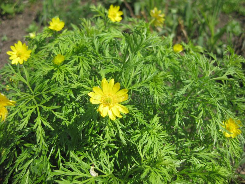 Adonis-wild with yellow flowers close up. stock image