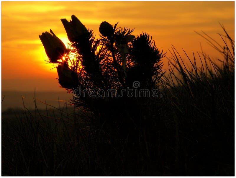 Adonisbloem in de zonsondergang royalty-vrije stock afbeeldingen