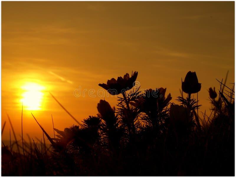 Adonisbloem in de zonsondergang stock afbeeldingen