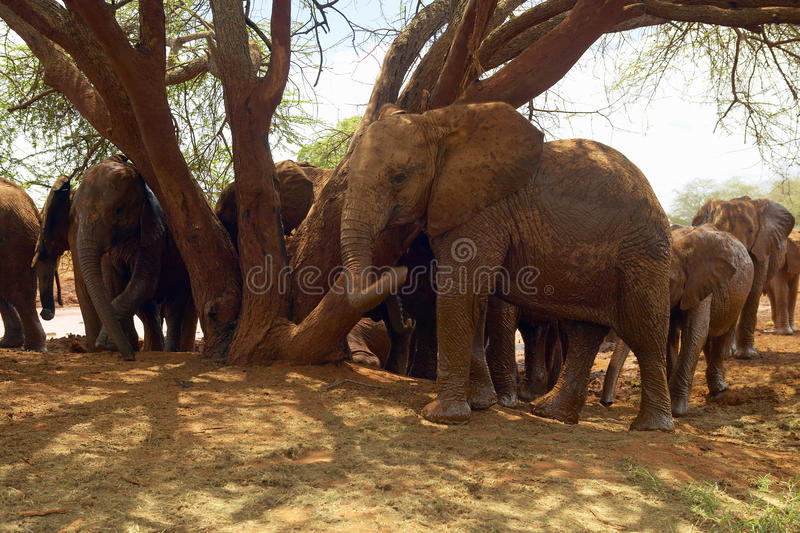 Adopted Baby African Elephants at the David Sheldrick Wildlife Trust in Tsavo national Park, Kenya stock photos