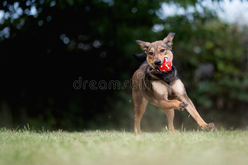 Adopted mixed breed dog playing with ball. Happy adopted mixed breed dog playing with ball stock photo