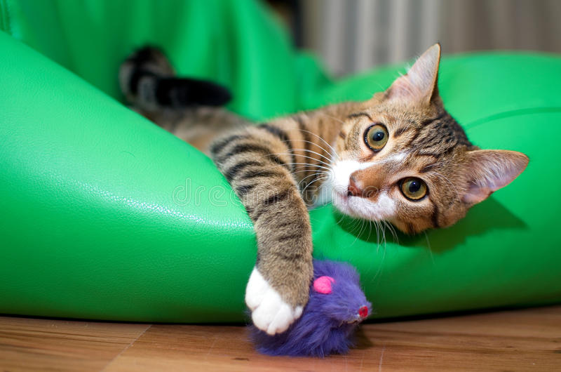 Adopted stray cat. An adorable adopted stray cat playing with a purple toy mouse royalty free stock photos