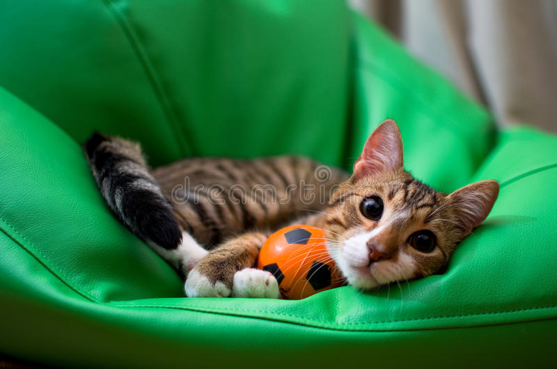 Adopted stray cat. An adorable adopted stray cat playing with a ball stock photo