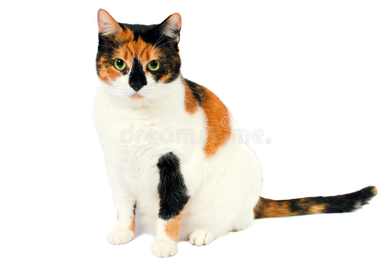 Adopted stray cat royalty free stock images