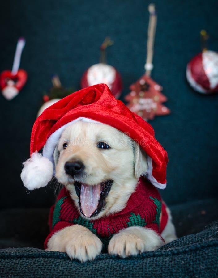 Adorável cachorro chorando exausto com o chapéu de Papai Noel cena do Natal imagens de stock
