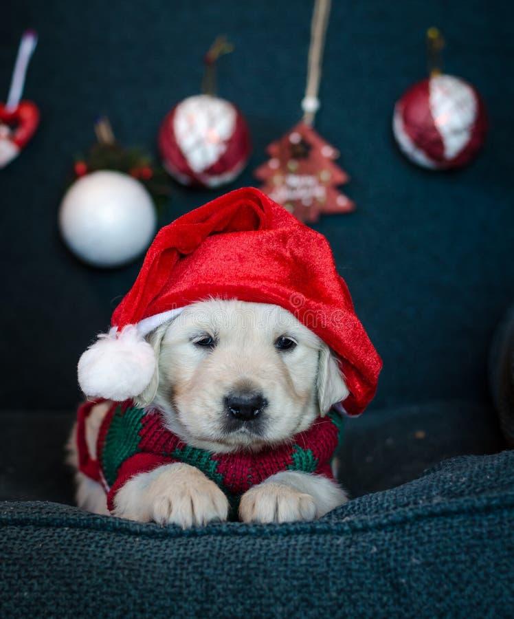 Adorável filhote de golden retriever do Papai Noel fotografia de stock