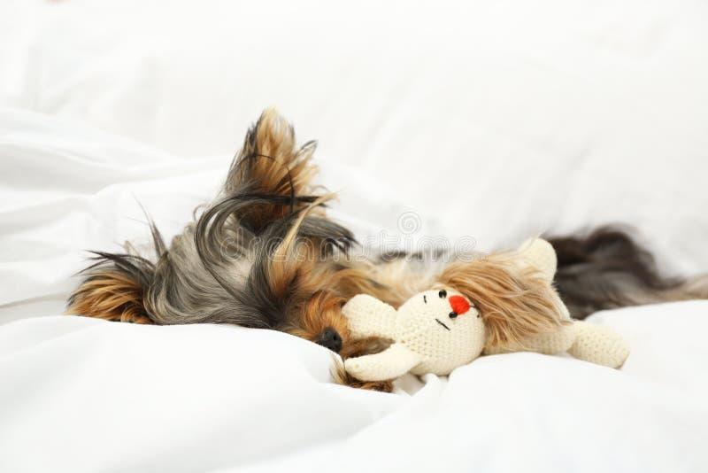 Adorabile Yorkshire terrier che dorme con giocattolo Cane canino fotografia stock libera da diritti