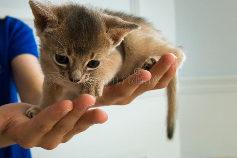 Adorable Abyssinian little kitten on a hands.  stock images