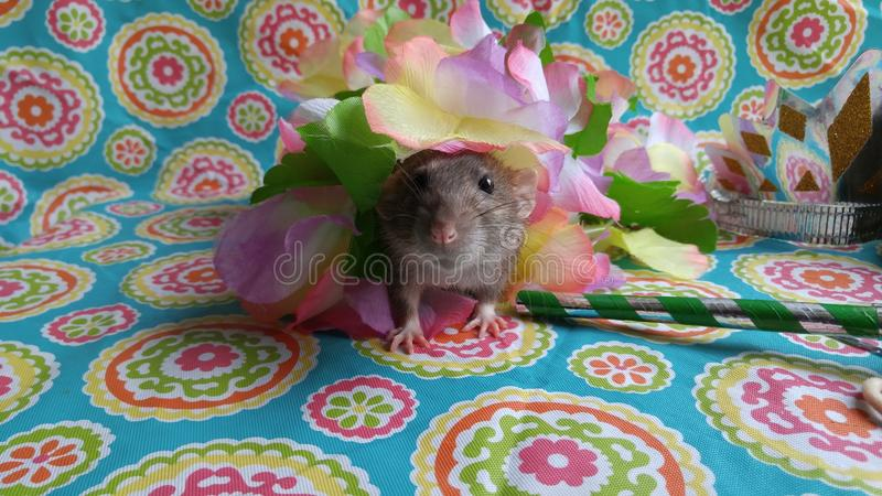 Adorable pet rat having a party royalty free stock photos