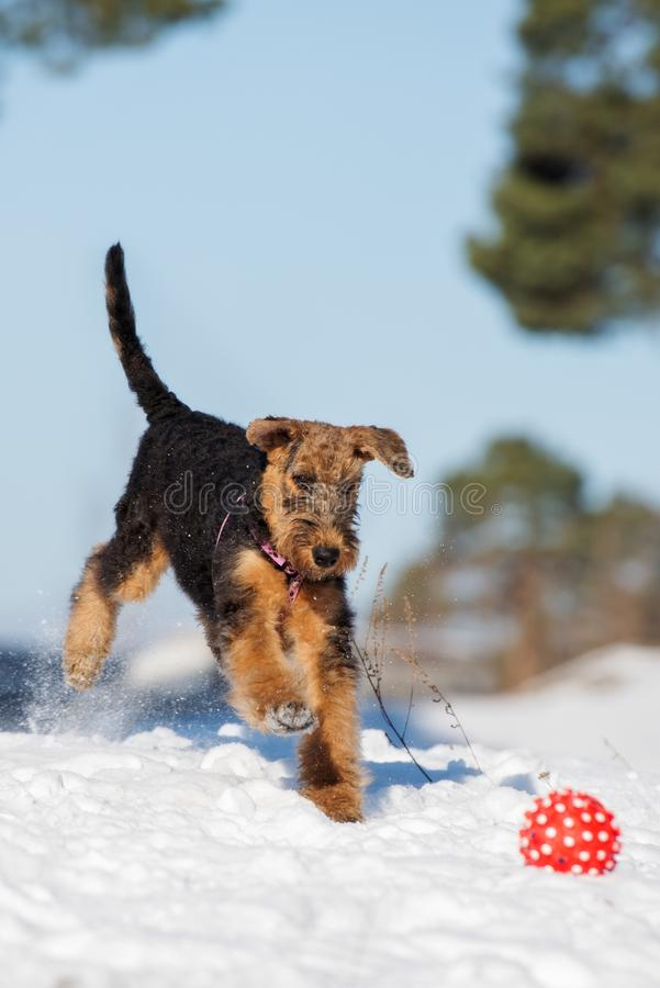 Adorable airedale terrier puppy playing outdoors in winter. Airedale terrier puppy outdoors in winter stock photography