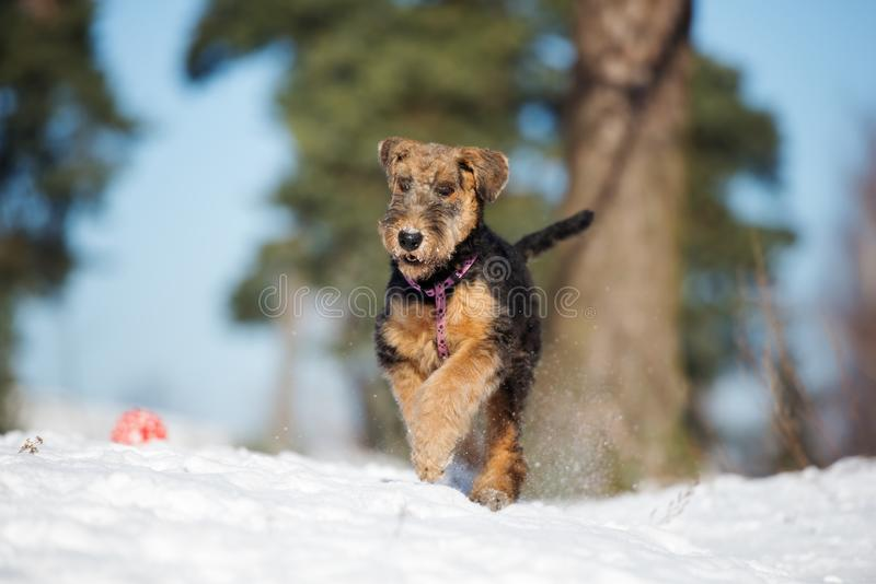 Adorable airedale terrier puppy running outdoors in winter. Airedale terrier puppy outdoors in winter stock image