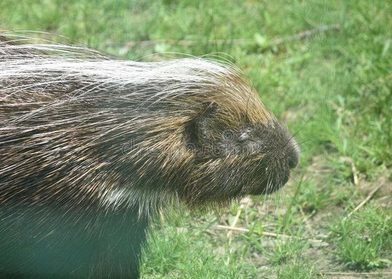 Cute north american porcupine closing its eyes. Adorable american porcupine with large quills royalty free stock images