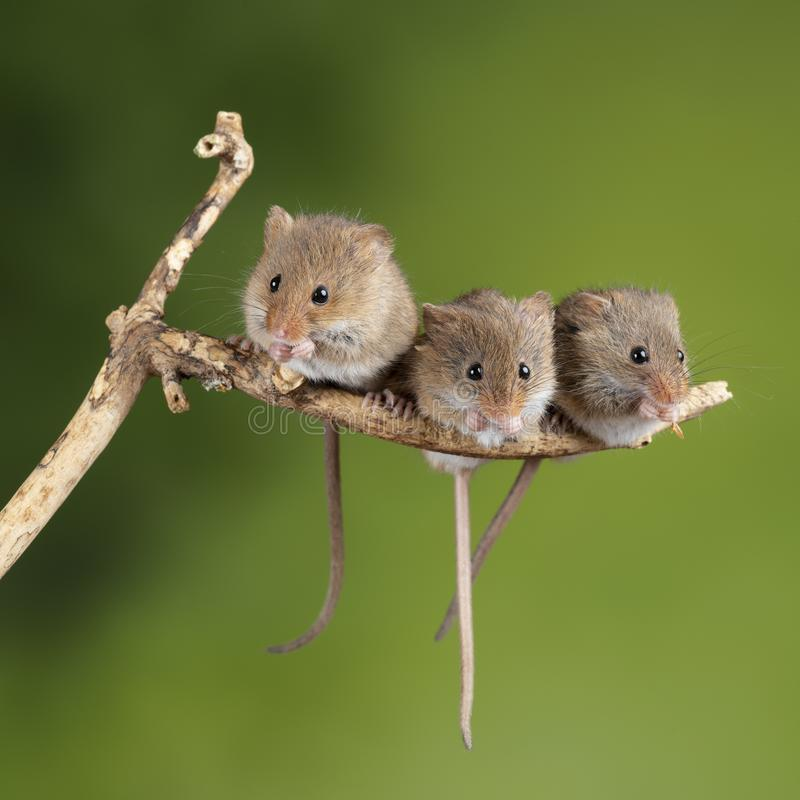 Free ADorable And Cute Harvest Mice Micromys Minutus On Wooden Stick With Neutral Green Background In Nature Royalty Free Stock Photos - 149362908