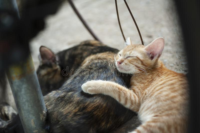 Kitten sleeps behind her mother. Adorable, animal, animals, baby, beautiful, beauty, body, brown, cat, cats, cute, domestic, eye, eyes, face, feline, fluffy royalty free stock image