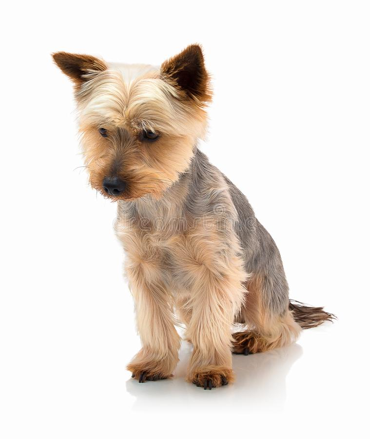 An adorable Australian silky terrier sitting against a white background with shadow reflection. stock images