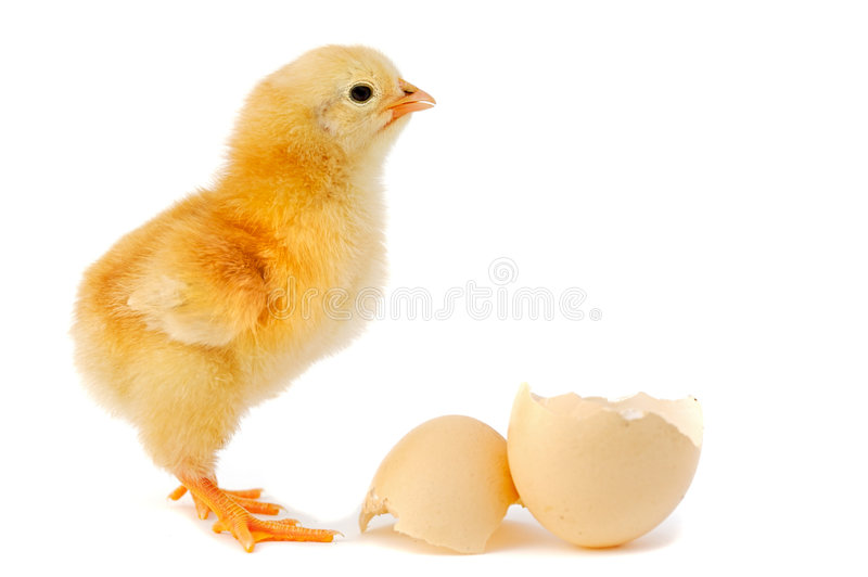 Adorable baby chick. A baby chick over a white background royalty free stock photo