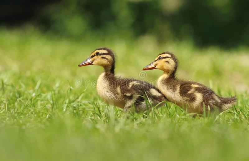 Adorable baby duckling in grass royalty free stock photo