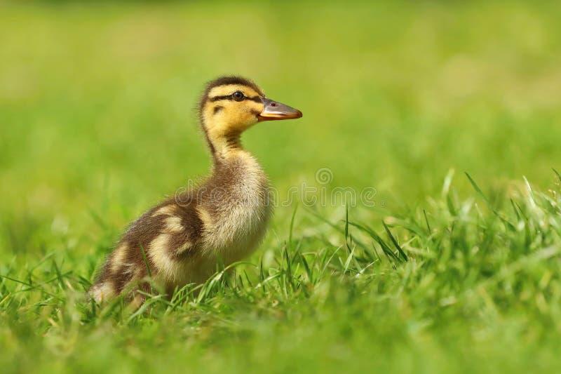 Adorable baby duckling in grass stock photos