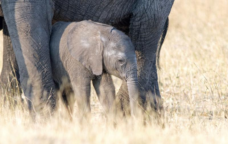Cute Tiny newborn African elephant calf standing close to its Mother for protection in Hwange National Park, Zimbabwe. Adorable baby elephant calf standing close royalty free stock photos