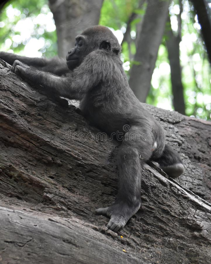 Adorable Baby Gorilla Playing in the Trees stock photo