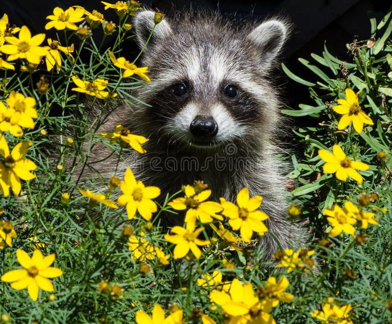 An adorable baby raccoon in a bed of yellow flowers. royalty free stock photography