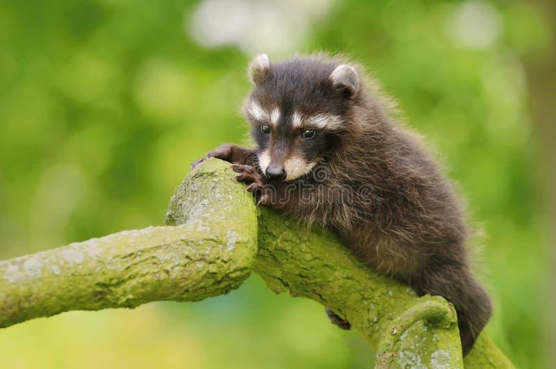 Adorable baby raccoon Procyon lotor royalty free stock image