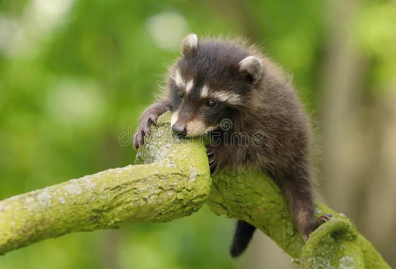 Adorable baby raccoon Procyon lotor stock images