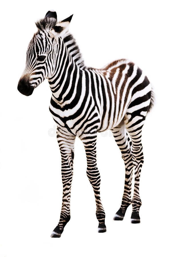Adorable Baby Zebra standing. royalty free stock images