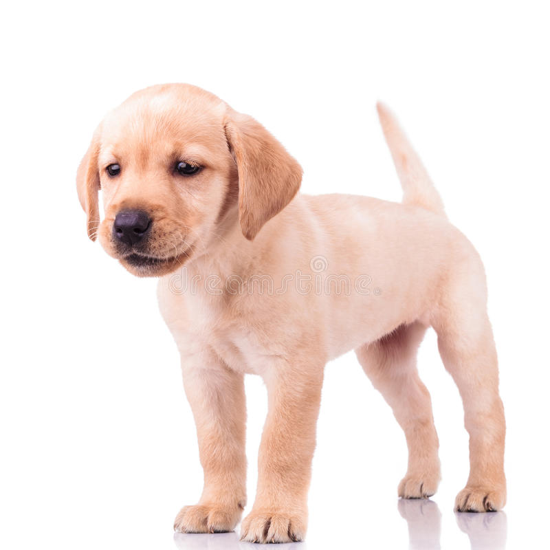 Adorable barking little labrador retriever puppy dog. Standing on white background stock photography