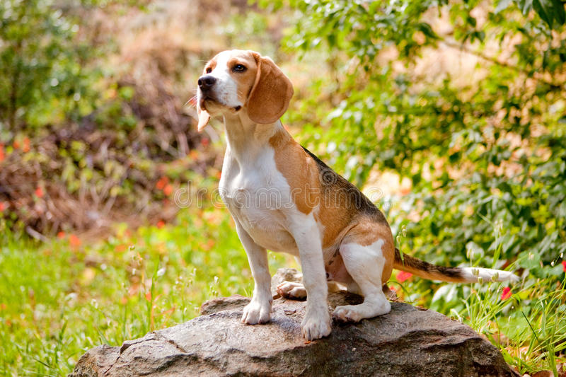 Adorable beagle. Beagle sitting on a rock in the forest royalty free stock image