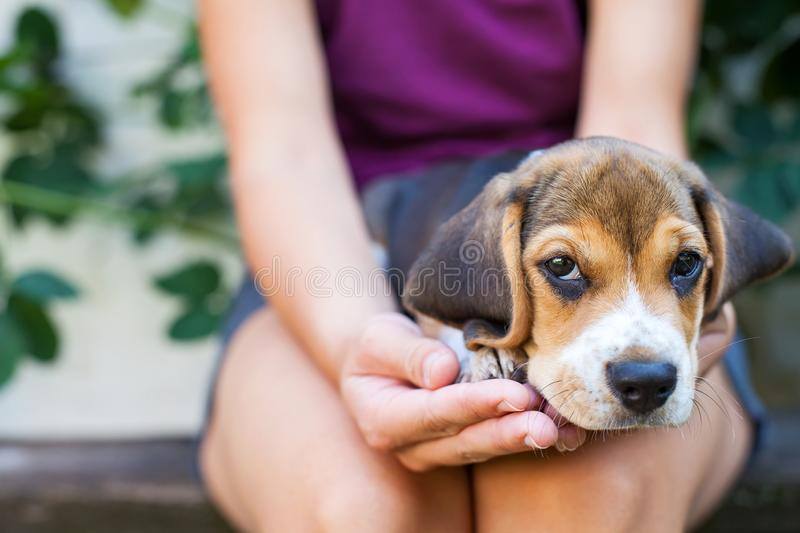 Tricolor purebred beagle puppy royalty free stock photo