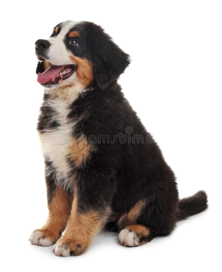Adorable Bernese Mountain Dog puppy. On white background royalty free stock images