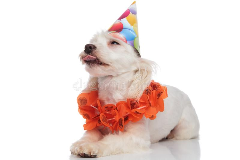 Adorable bichon wearing garland and birthday hat lying and panting. Adorable bichon wearing garland and birthday hat lying on white background and panting while royalty free stock photo
