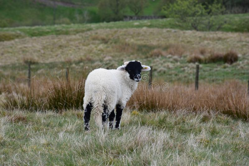 Adorable Black Faced Lamb Standing in the Dales stock image