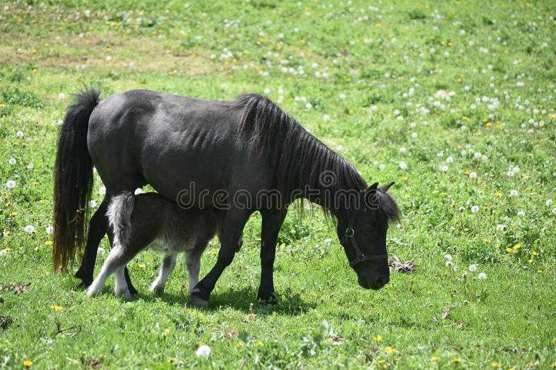 Black Mini Horse Mare with a Baby Walking Under Her royalty free stock photography