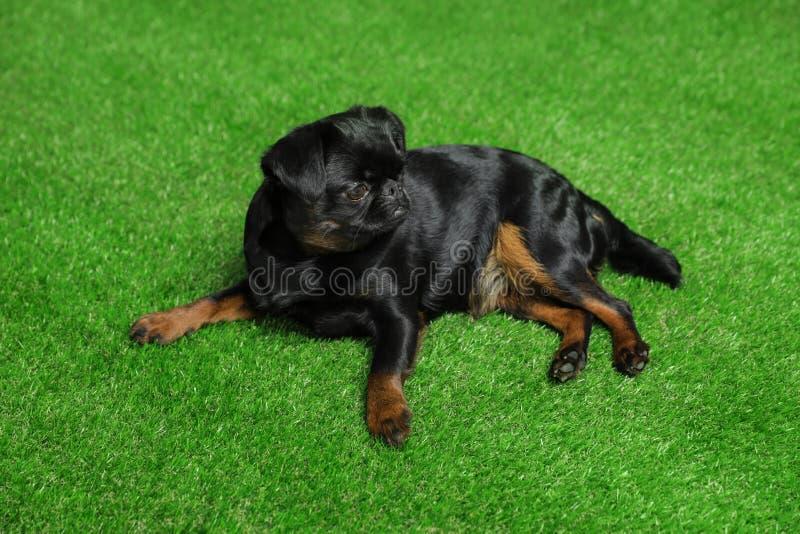 Adorable black Petit  dog lying on green grass stock photo