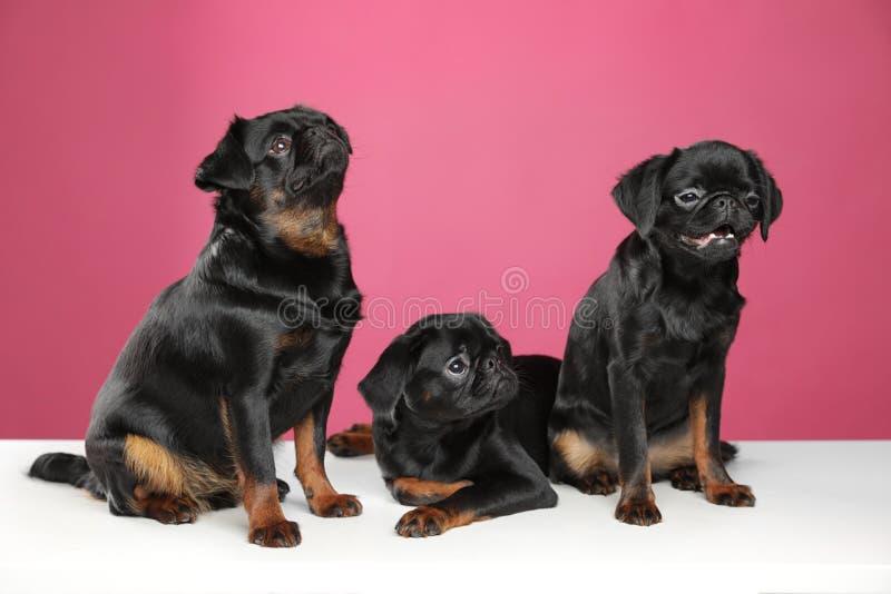 Adorable black Petit Brabancon dogs on white table royalty free stock image