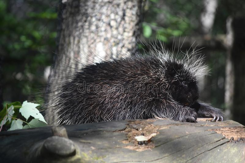 Adorable black porcupine climbing over a log stock photos