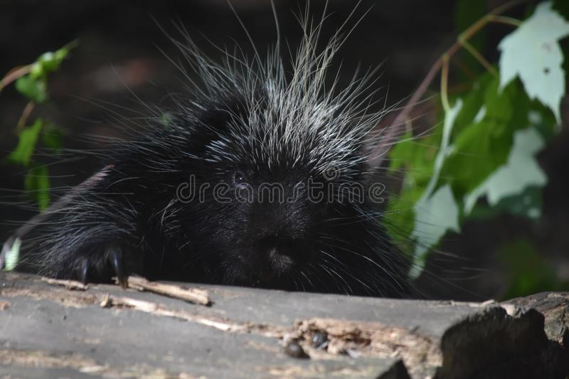 Pretty black porcupine climbing over a large log. Adorable black porcupine climbing over a log royalty free stock image