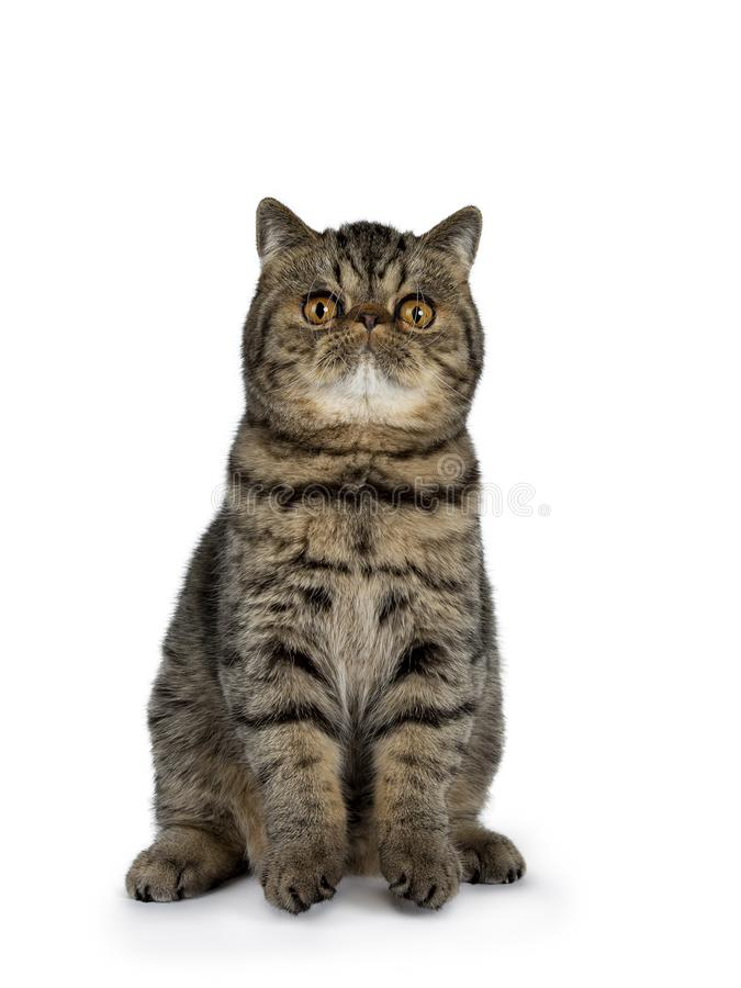 Adorable black tabby Exotic Shorthair cat kitten, Isolated on a white background. Adorable black tabby Exotic Shorthair cat kitten, sitting facing frontt ready royalty free stock image