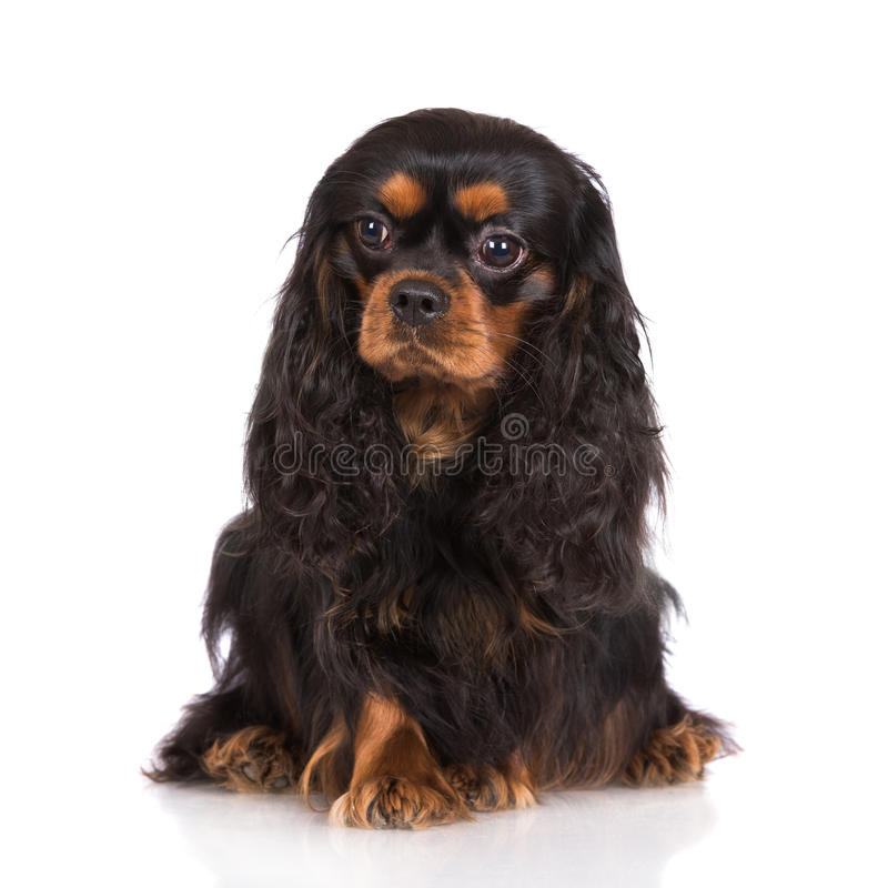 Best King Charles Canine Adorable Dog - adorable-black-tan-cavalier-king-charles-spaniel-dog-white-49379826  Pic_6221  .jpg