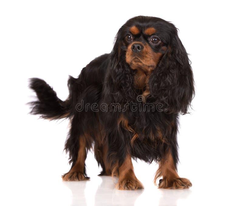 Top Cavalier Canine Adorable Dog - adorable-black-tan-cavalier-king-charles-spaniel-dog-white-49379835  Graphic_642917  .jpg