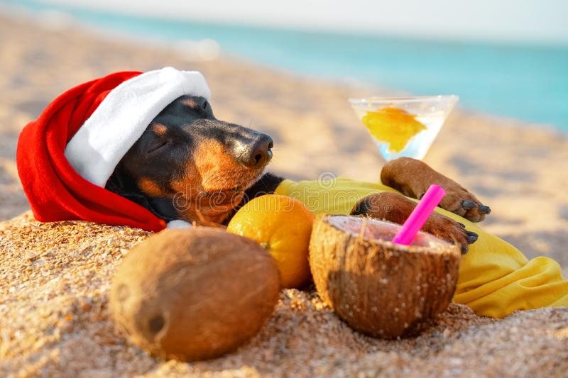 Adorable black and tan dachshund dog, buried under sand on the beach, chill and relaxing on a seashore, on summer vacation. Holidays, with coconut cocktail stock photos