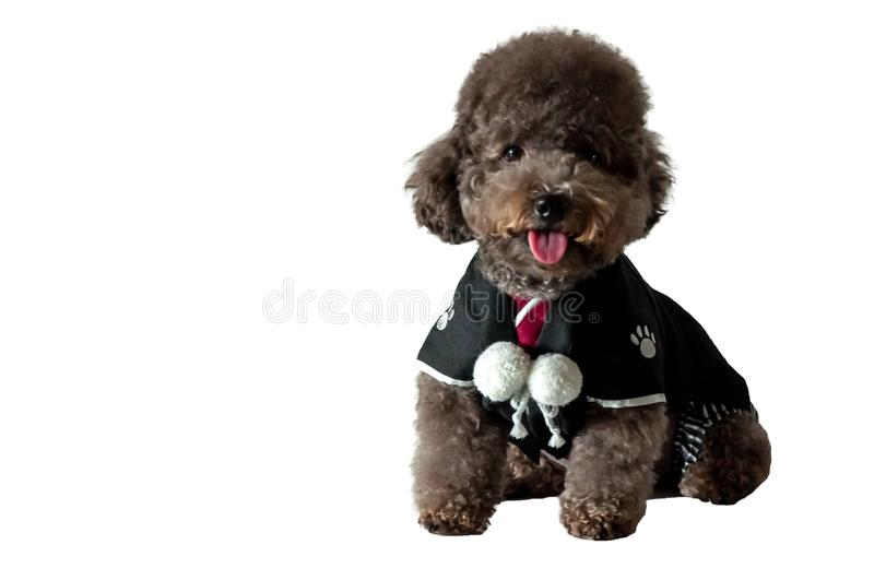 An adorable black toy Poodle dog wearing Japanese traditional Yukata dress. An adorable black toy Poodle dog with smiling shot wearing Japanese traditional stock photography