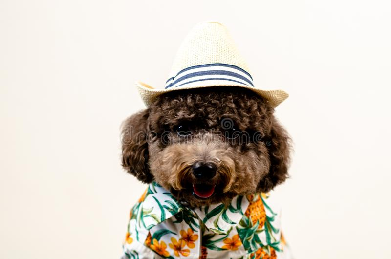 An adorable black toy Poodle dog wears hat and Hawaii dress for summer season on white background royalty free stock image
