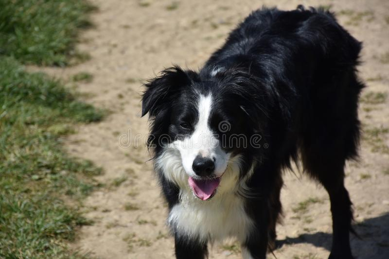 Adorable Black and White Border Collie Dog in the Sun royalty free stock image