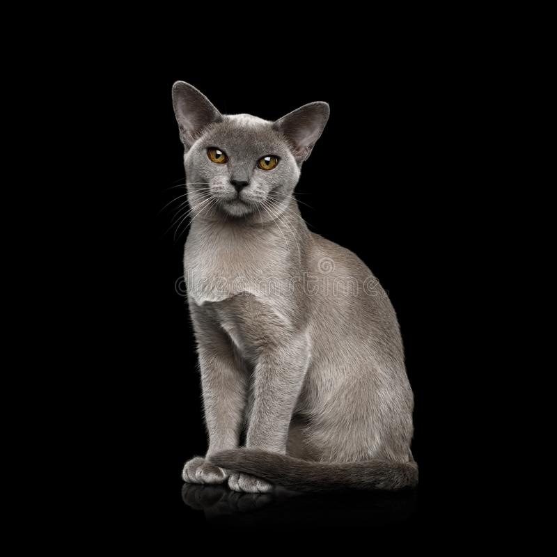 Blue Burmese Cat isolated on black background. Adorable Blue Burmese Cat with unusual eyes Sitting on isolated on black background, front view stock images