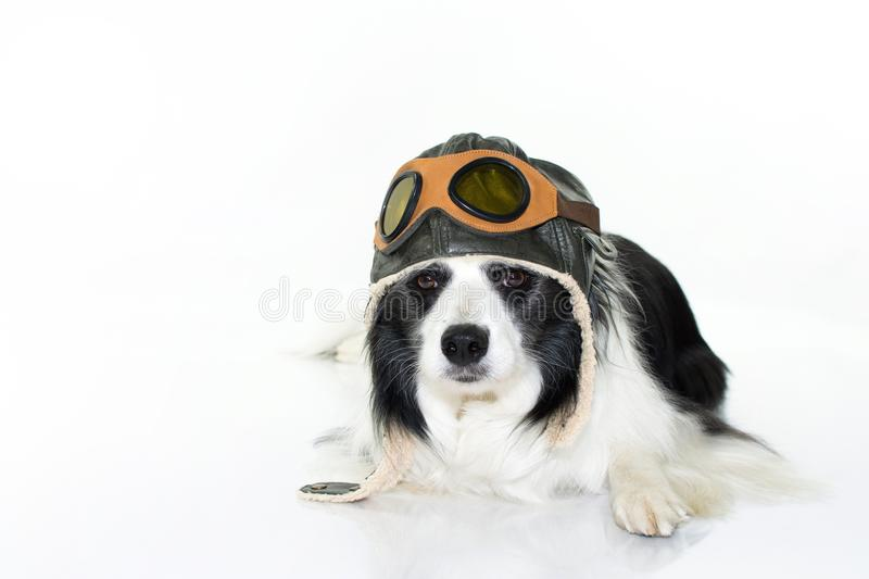 ADORABLE BORDER COLLIE DOG LYING DOWN IN FLOOR WEARING A PILOT H royalty free stock photography